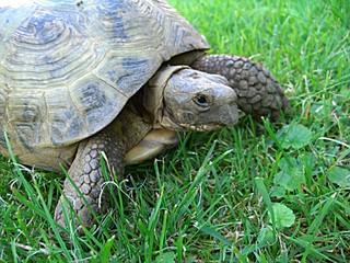 Landschildkröte - Schildkröte, Landschildkröte, Steppenschildkröte, Vierzehenschildkröte, Reptil, Panzer, Schuppen, Winterruhe, langsam, Keratin, Haustier, bedroht, Schildpatt, Artenschutz, Washingtoner Abkommen