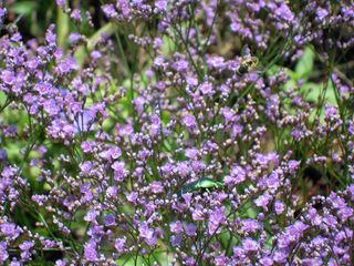 Rosenblattkäfer - Käfer, grün, Rosenblattkäfer, Goldglänzende Rosenkäfer, Gemeiner Rosenkäfer, Blatthornkäfer