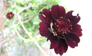 Ohrenkneifer in Schokoladenblume - Zierpflanze, Cosmee, Schokolade, Ohrenkneifer, Ohrenwurm, Tarnung, Duft, Ohrwurm, Ohrenschliefer