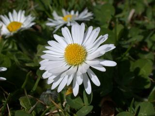 Gänseblümchen - Korbblütler, Wiesenblume, Bellis perennis, Rasen, Wiese, weiß, gelb, Wiese, Heilpflanze, Blüte, Pollen, Gänseblümchen