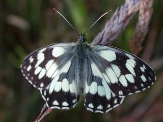 Schachbrettfalter - Schmetterling, einheimisch, Melanargia galathea, Muster, Falter, Insekten, flattern, leicht, bunt, Wiese, Waldrand, Schachbrettfalter