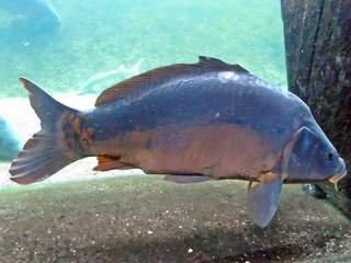 einheimischer Fisch - Karpfen - Fisch, Flosse, Flossen, schwimmen, Süßwasser, Wasser, Schuppen