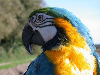 Ara - Vögel, Papagei, Papageienarten, Papageienvogel, Gelbbrustara, Ara, Kopf, bunt, exotisch, Südamerika, Vogel, Schnabel, Lories, gelb, blau