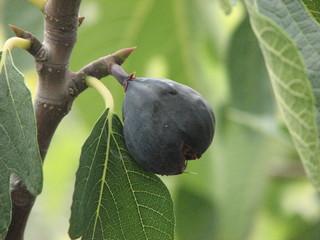 Feige # 2 - Ernährung, Obst, Feigen, Feige, Blatt, Frucht, Maulbeergewächs, Bedecktsamer, Samenkörner, Samen, süß, Nahrung