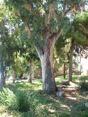 Eukalyptus - Eukalyptus, Baum, Baumstamm, immergrün, ätherische Öle, Laubbaum, schnellwachsend, Eukalyptus, Heilpflanze