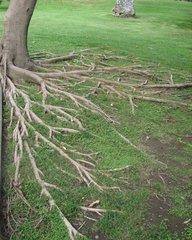 Gummibaum - Wurzeln #2 - Gummibaum, Beamtenpalme, Flachwurzeln, Ficus elastica, Maulbeergewächs, Rhizome, Wachstum, Kunst, Wurzeln