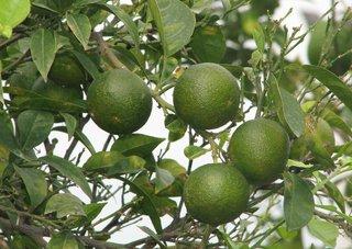 Zitrusfrüchte unreif - Zitrusfrucht, Pampelmuse, Grapefruit, Pomelo, Grapefruit, Citrus, Citrusfrucht, Vitamine, gesund, süß, Frucht, Obst, Nahrungsmittel