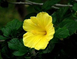 Hibiskusblüte - Hibiskus, Eibisch, Malvengewächs, Stempel, Staubblatt