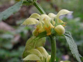 Goldtaubnessel 2 - Taubnessel, Lamium, Lippenblütler, Lamiaceae, krautige Pflanzen, Goldnessel, Goldtaubnessel, gelb, Hummelblume, Schattenpflanze, Wald