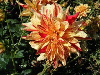 Dahlie - Dahlie, Sommerblume, Aster, Korbblütengewächs, Korbblüte, Knolle, Knollengewächs, Blume
