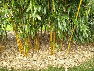 Gartenbambus - Bambus, Gras, Blätter, schlank, grün, Pflanze, Süßgräser, Halme, Pflanzensymbolik, Rohstoff