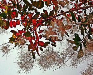 Zierstrauch - herbstlich, Herbst, rot, braun, Strauch, Zierstrauch, Blatt, Blätter, bunt, farbig, Jahreszeit, Kunst, Vorlage, Verfärbung