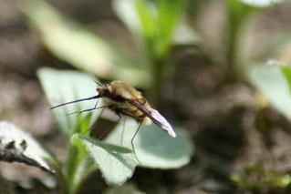 Schwebfliege - Insekten, Rüssel, Schwebfliege, Insekt