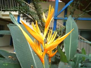 Strelitzie, Papageienblume#1 - exotisch, Pflanze, Afrika, Westafrika, Kamerun, Strelitzie, Papageienblume, orange, exotisch, Blüte, Wärme, Sommer, geöffnet, Blätter, Paradiesvogelblume