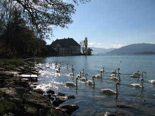 Schwäne - Schwan, Schwäne, schwimmen, Höckerschwan, See, Schloss, Attersee, viele, glitzern