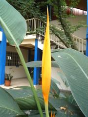 Strelitzie, Papageienblume#2 - exotisch, Pflanze, Afrika, Westafrika, Kamerun, Strelitzie, Papageienblume, orange, exotisch, Blüte, Wärme, Sommer, geschlossen, Blätter, Paradiesvogelblume