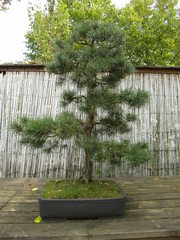 Bonsai #3 - Bonsai, Gartenkunst, Wuchsbegrenzung, fernöstlich, Formschnitt, Wurzelschnitt, Blattschnitt, Drahtung