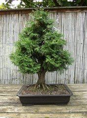 Bonsai #7 - Bonsai, Gartenkunst, Wuchsbegrenzung, fernöstlich, Formschnitt, Wurzelschnitt, Blattschnitt, Drahtung