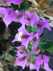 Bougainvillea - Bougainvillea, Wunderblumengewächs, Strauch, Blüte, violett, lila