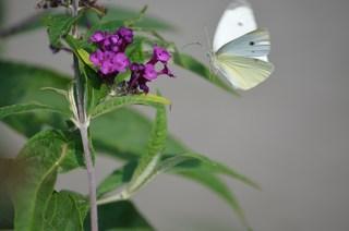Großer Kohlweißling - Schmetterling, Falter, Tagfalter, Flug, Fliegen, Weißling, Pieris brassicae, Schmetterlingsflieder, Sommerflieder