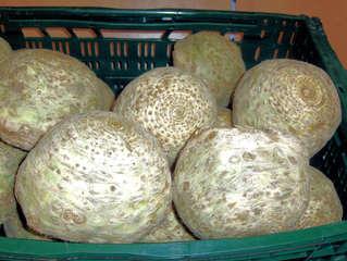 Knollensellerie, Echter Sellerie - Sellerie, Echter Sellerie, Knollensellerie, Gemüse, Wurzelsellerie, Zeller, Rübe