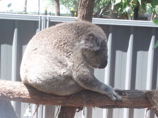 Koala - Koala, Australische Tiere