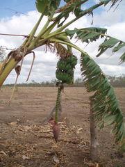 Bananenbaum - Bananenbaum, Pflanze, Banane, Frucht, Früchte
