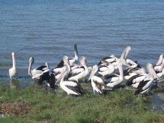 Pelikane - Pelikan, Vogel, Wasservogel, Ruderfüßer