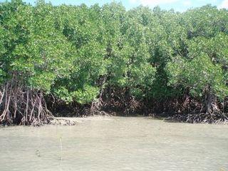 Mangroven 4 - Mangroven, Australien, Ökosystem