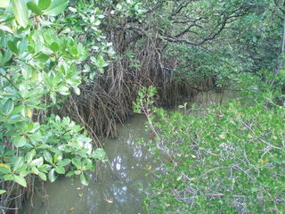 Mangroven 5 - Mangroven, Ökosystem, Australien