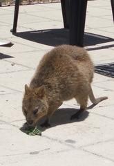 Quokka - Quokka, Kurzschwanzkänguru, Känguru, Känguruh, Beuteltier, Australien