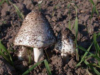 weißer Pilz - Pflanzen, Pilze, Ackerboden, Schwammerl, sprießen, wachsen, herausschießen