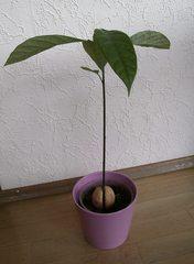 Avocado-Keimling #4 - Avocado, Avocadokern, Avocadotrieb, Trieb, Keim, Keimling, Sämling, Pflanzenentwicklung, Pflanzenvermehrung, Austrieb