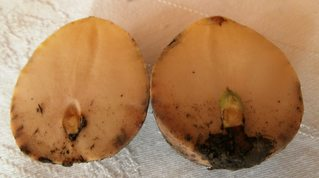 Avocado-Keimling #1 - Avocado, Avocadokern, Avocadotrieb, Trieb, Keim, Keimling, Sämling, Pflanzenentwicklung, Pflanzenvermehrung, Austrieb