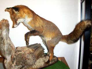 Rotfuchs - Fuchs, Rotfuchs, ausgestopft, Säugetier, Fell, Fuchsschwanz, Wildtier, Wildhund, Reinecke Fuchs, Märchen