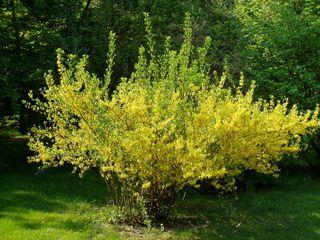 Blühender Forsythienstrauch - Frühling, gelb, blühen, Blüten, Forsythien, Blätter, Strauch, Busch, Osterstrauch, Forsythie