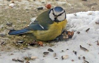 Blaumeise3# - Vogel, Vögel, Futter, füttern, Winter, kalt, Kälte, eisig, Schnee, Eis, frieren, Fütterung, Körner, Samen, Nuss, Nüsse, Meise, Blaumeise, blau, gelb, Standvogel, klein, Federn, Federkleid, Futterstelle, Hunger, Zusatzfutter, Winterfütterung