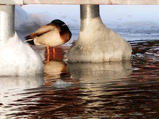 Der Winterschlaf der Ente - Winter, Eis, Schnee, Aggregatzustand, Wasser, Anomalie, Physik, Ente, Stockente, Ruhe, Schlaf, schlafen, ruhen, Spiegelung, spiegeln, Eindruck, Metapher, Wortspiel, Wellen, kalt, Kälte, winterlich, frostig