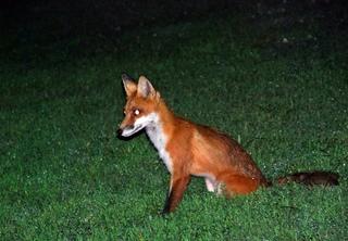 Rotfuchs - Fuchs, Rotfuchs, dunkel, Dunkelheit, Wiese, Säugetier, Fell, Fuchsschwanz, Wildtier, Wildhund, Reinecke Fuchs, Nacht, nachts, jagen, Tier