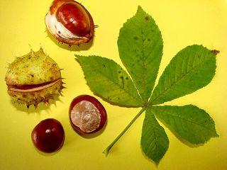 Blatt und Frucht der Rosskastanie - Blatt, Frucht, Herbst, Kastanie, Rosskastanie, gefingert, Schale, stachelig, Heilpflanze, glatt, glänzend, braun, grün, Fruchtschale, Futterpflanze, Futter, basteln, Samen, Blatt, Laubbaum