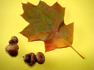 Blatt und Frucht der Roteiche - Blatt, Frucht, Eiche, Roteiche, Eichel, Hut, Herbst, rot, bunt, Laubfärbung, Laubbaum, Wald, einhäusig