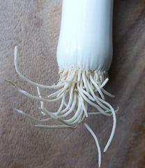 Lauch - Lauch, Porree, Gemüse, Wurzel, Wurzeln, Zwiebelgewächs
