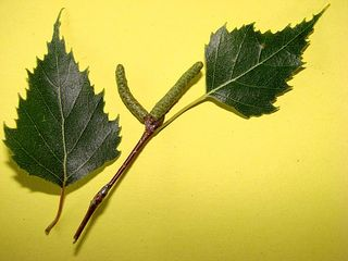 Blatt der Weißbirke - Blatt, Weißbirke, Birke, Kätzchen, Herbst, dreieckig, gesägt, einhäusig, Blütenstaub, männlich, Pionier, Wald, Pionierpflanze, Laubbaum