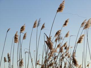 Schilfgras - Schilf, Schilfgras, Schilfrohr, Blütenstand, Impuls, Meditation