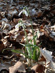 Schneeglöckchen - Schneeglöckchen, Frühling, Frühjahr, Frühblüher, Zwiebelgewächs, weiß, blühen, Blüte, Blüten