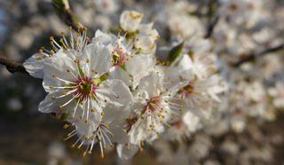 Schlehenblüte(n) - Schlehe, Blüte, Staubgefäß, Staubgefäße, Blütenblätter