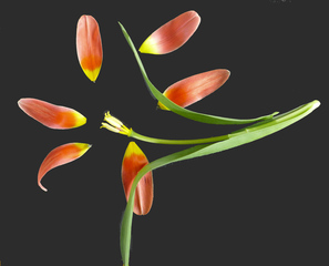 Tulpenblüte - zergliedert - #1 - Frühblüher, Staubgefäß, Blütenblatt, Blütendiagramm, Stempel, Tulpe, Stängel