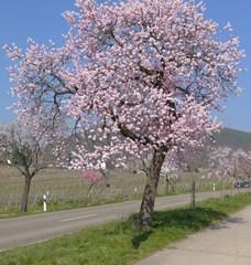 Mandelbaum - Blüte, Mandelblüte, Pflanze, Frühling, Mandel, Baum, Blüten, Mandel, Mandelbaum, rosa