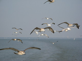 Möwen - Möwe, Vogelschwarm, Vögel, Möwen, Wasservogel, fliegen