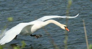 Schwan - Schwan, Wasser, Schwäne, Wasservogel, Höckerschwan, Schnabel, weiß, Wasser, fliegen